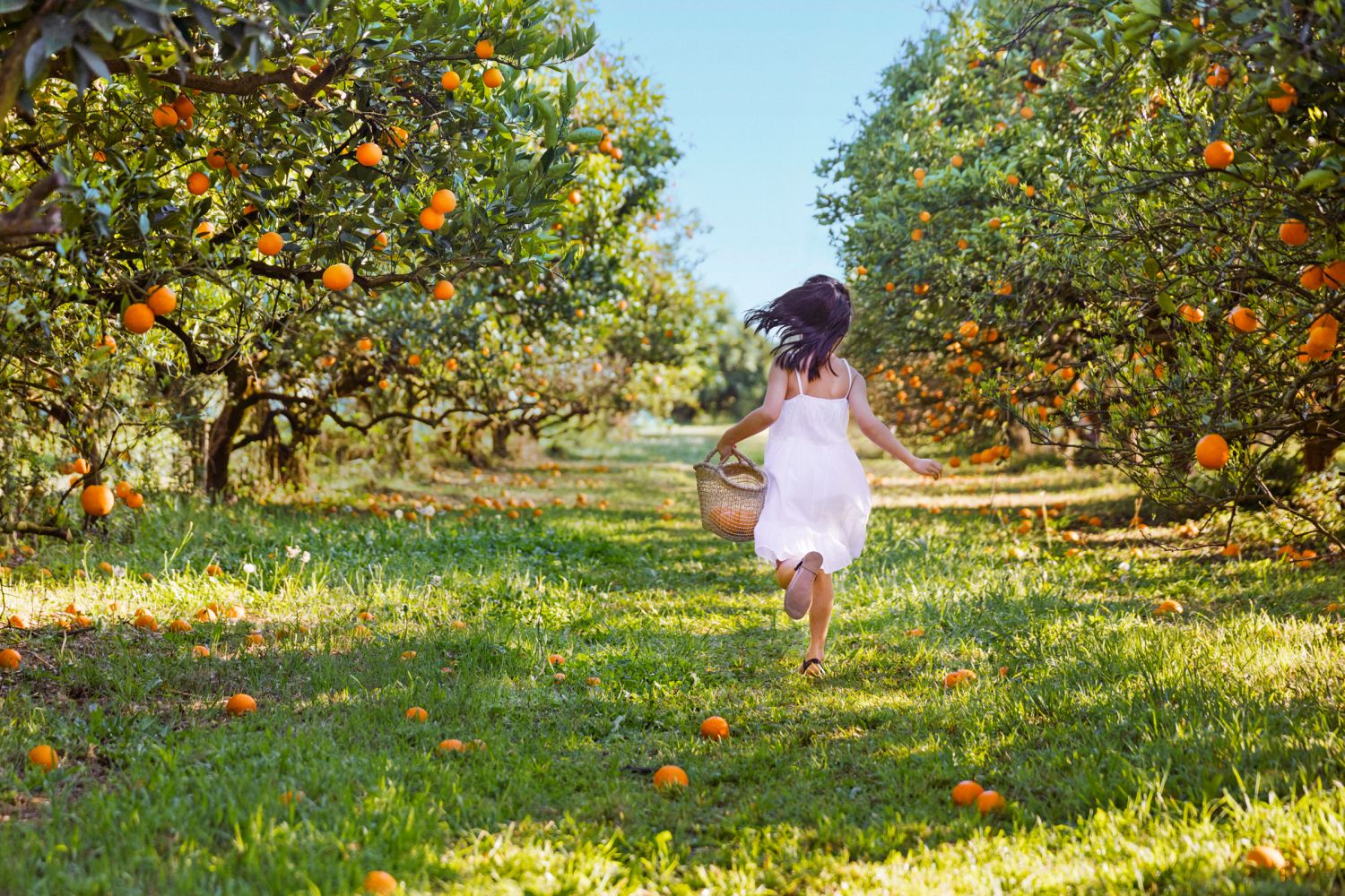 Orange Orchard in the Hawkesbury Area