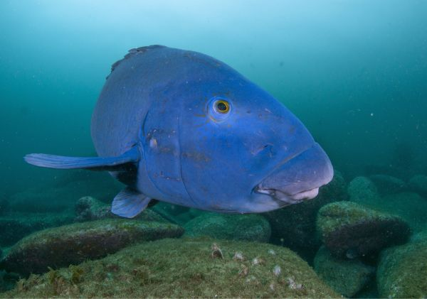 Local Eastern Blue Groper in Cabbage Tree Bay Aquatic Reserve, Manly
