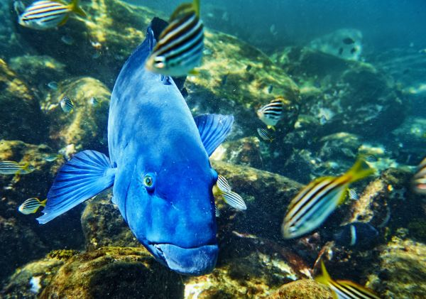 Groper swimming in Cabbage Tree Bay Aquatic Reserve in Manly