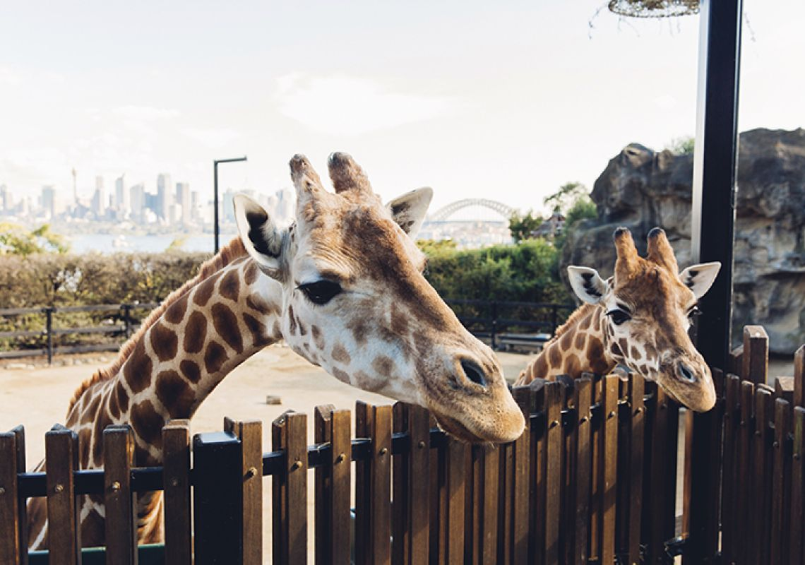 Curious giraffes at Taronga Zoo in Mosman, Sydney