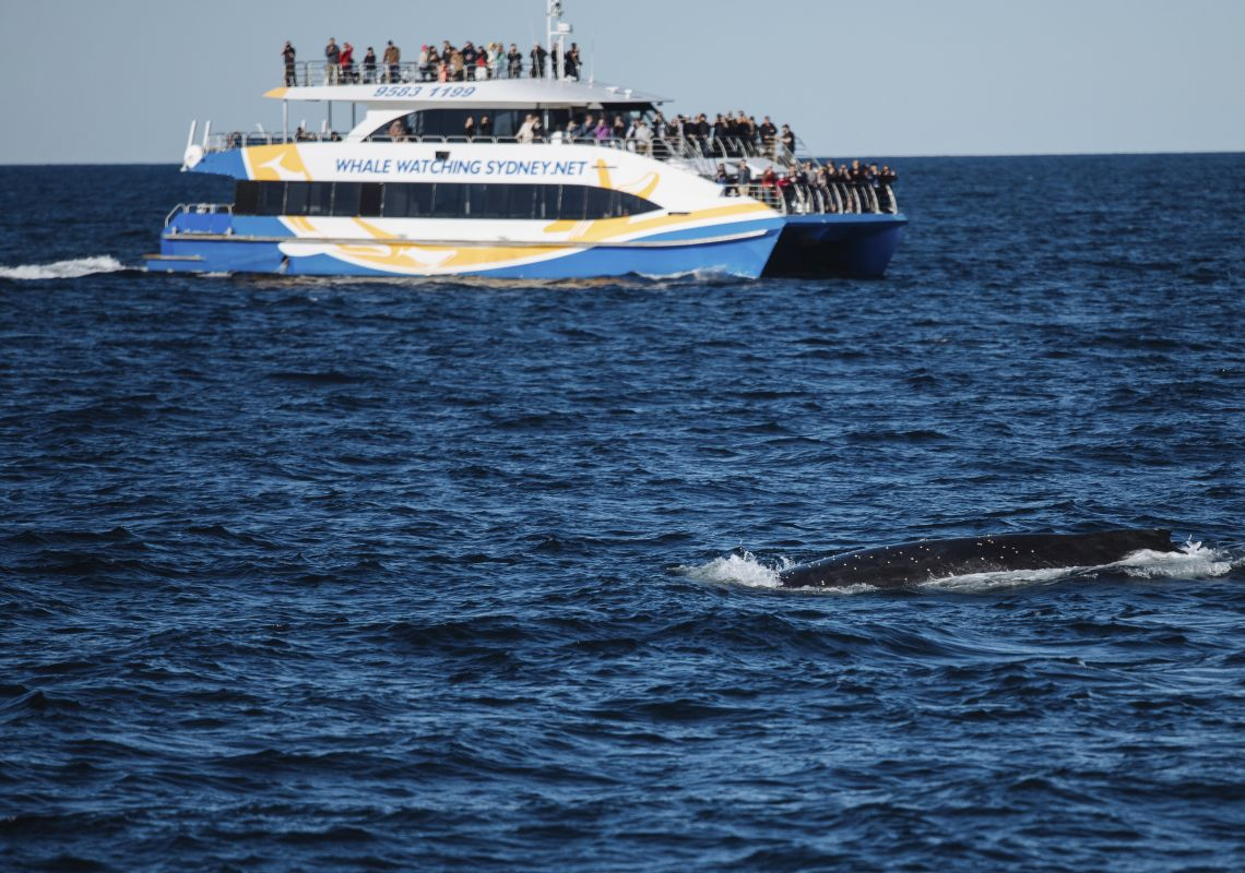 Humpback whale spotted off Sydney Heads on its annual migration along the NSW coastline