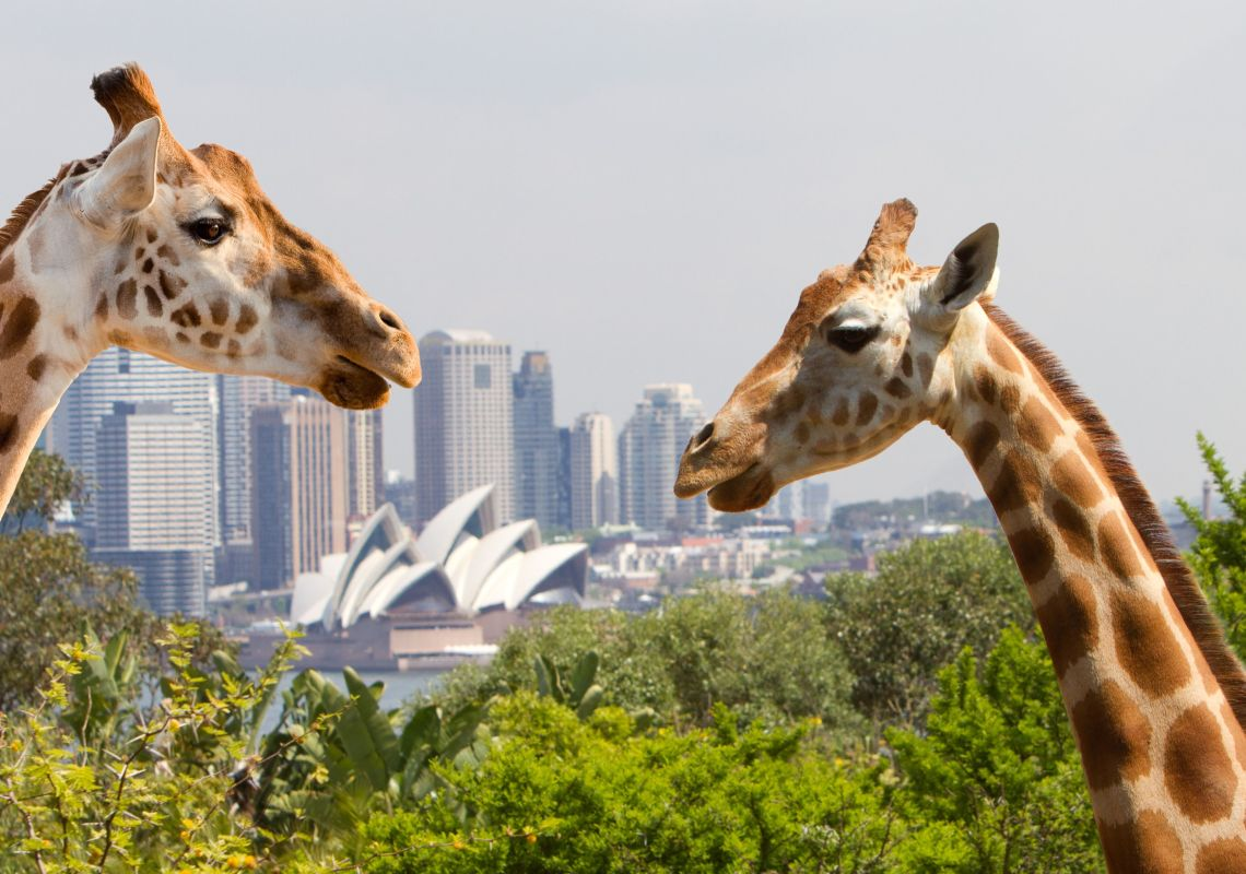 Giraffes at Taronga Zoo Sydney in Mosman, Sydney North