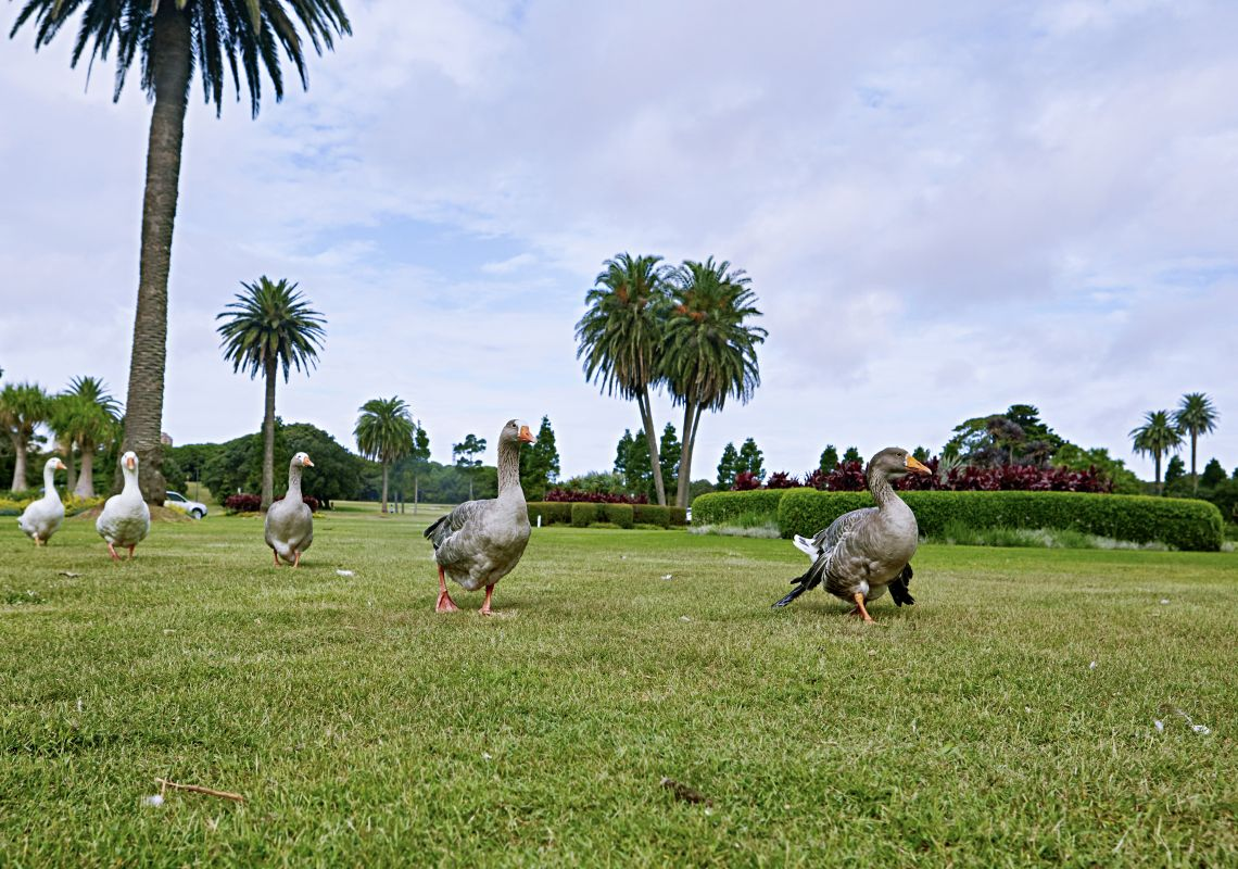Resident ducks waddling across the lawns in Centennial Parklands, Moore Park