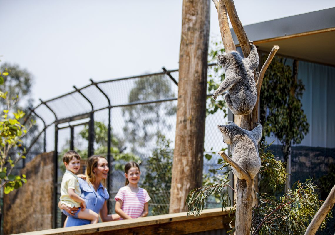 Mother and children viewing the resident koalas at Sydney Zoo, Bungarribee in Sydney West