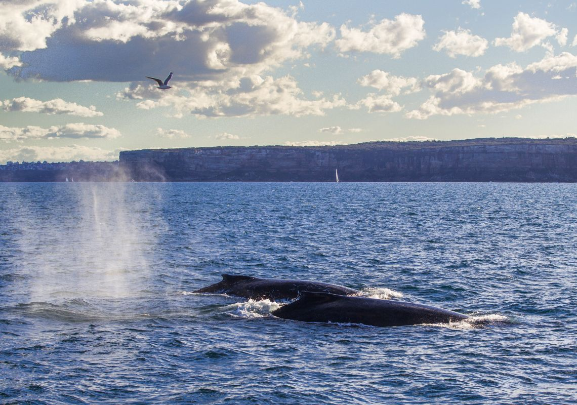 Two humpback whales passing Sydney during their migration up the NSW coastline