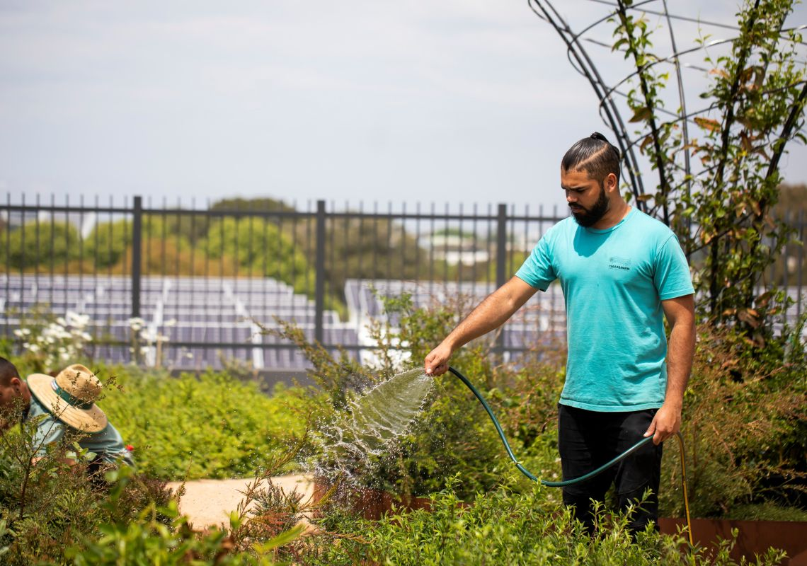 Man tending to the native indigenous bush plants at Yerrabingin Rooftop Farm in Eveleigh, Inner Sydney'