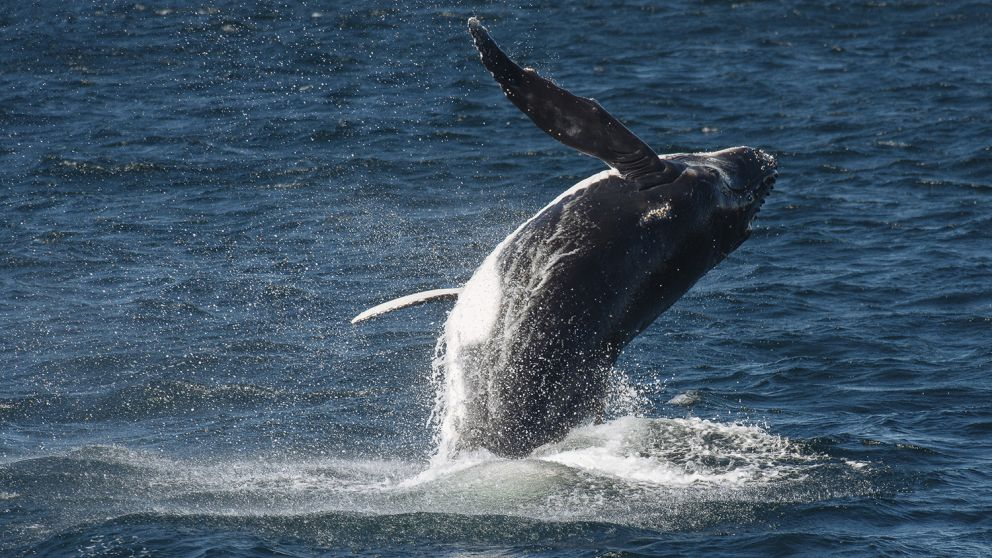 Humpback whale breaching near Sydney Heads on its annual migration, Sydney