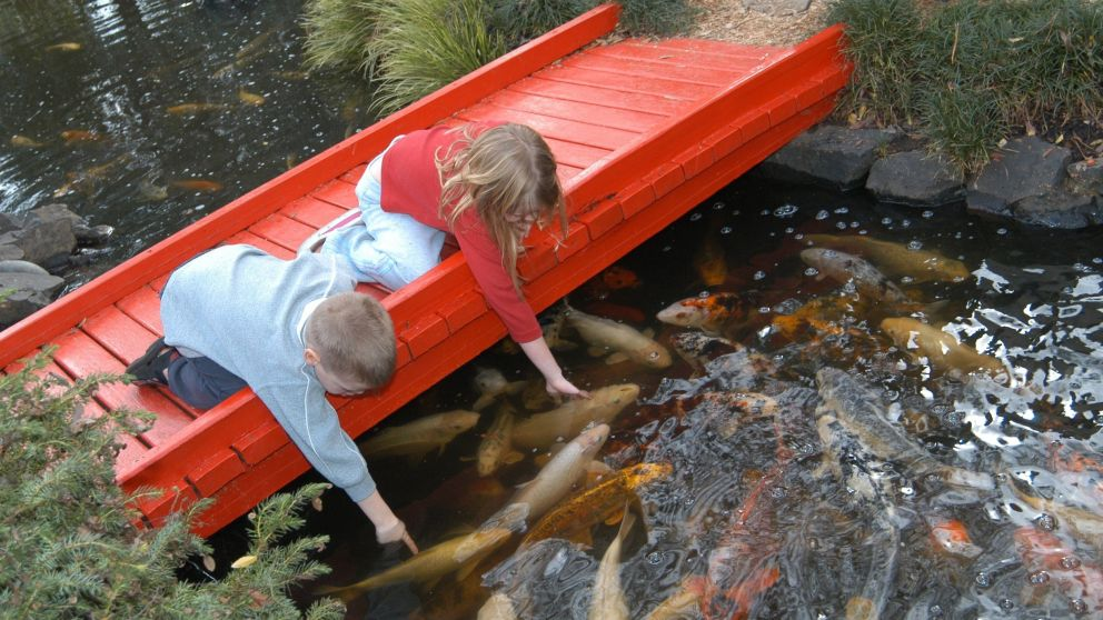 Children feeding Koi fish at The Japanese Garden and Teahouse in Campbelltown