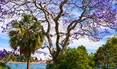 Jacarandas in the Royal Botanic Garden - Sydney