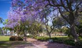 Jacaranda trees in full bloom in Prince Alfred Square in Parramatta, Sydney West