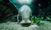 Dugong in SEA LIFE Sydney Aquarium