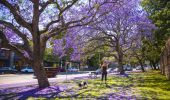 Jacaranda's in Paddington