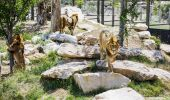 Lions at Sydney Zoo - Bungarribee - Sydney West