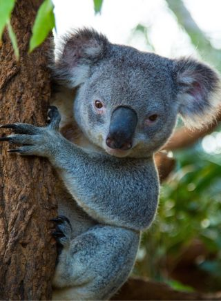 Native koala at WILD LIFE Sydney Zoo at Darling Harbour in Sydney