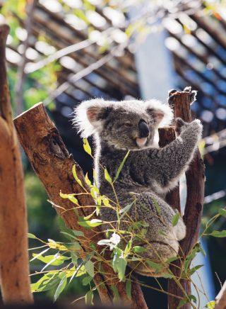 Cute Koala in Sydney's Taronga Zoo