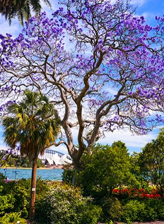 Jacarandas in the Royal Botanic Garden