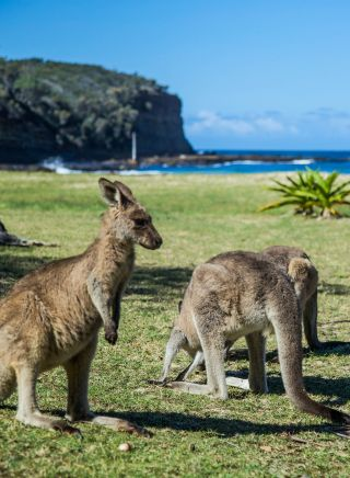 Kangaroos grazing at Pebbly Beach in Murramarang National Park, South Coast